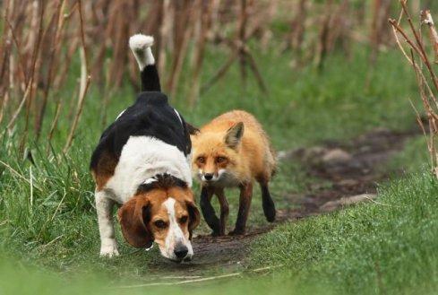 Snapshots Photos – Fox and Hound | rabbits & foxes