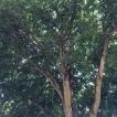 a tree grows in portland